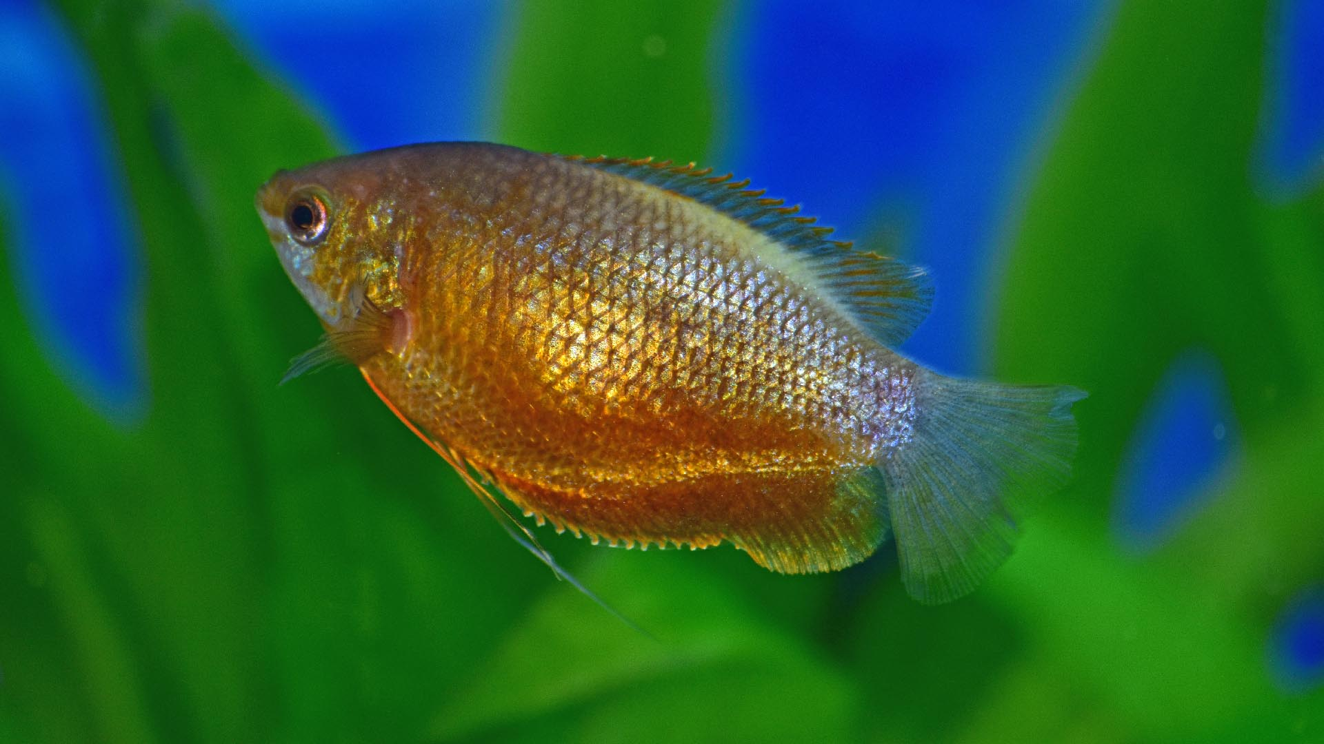 Gouramis, or gouramies, are a group of freshwater anabantiform fishes that comprise the family Osphronemidae.