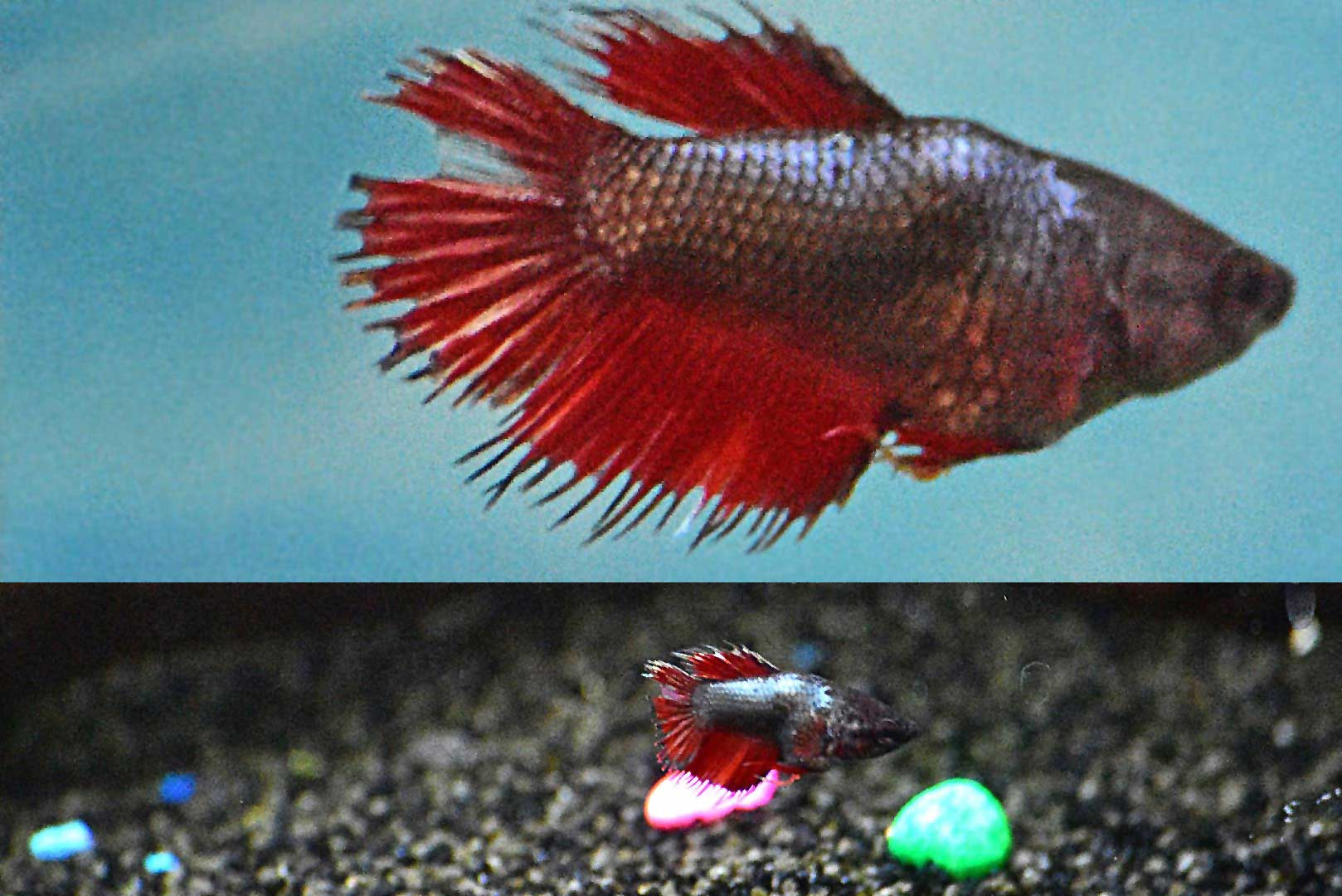 Betta fish are native to Asia, where they live in the shallow water of marshes, ponds, or slow-moving streams. Wayne's AquaWorld