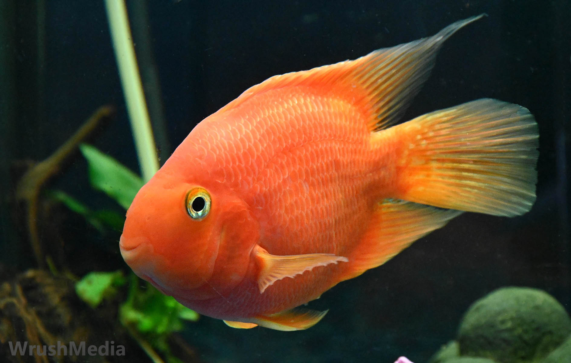 parrot fish, photo, Cichlid, blood red,